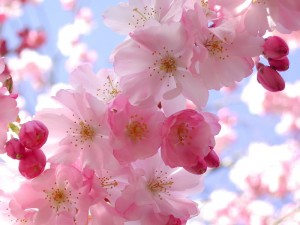 Cherry Blossom on Photobucket, as seen on Slipcovers for your walls, casartblog