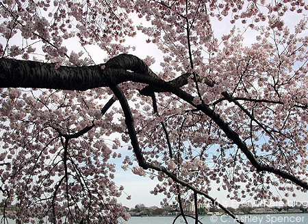 casart_Cherry-Blossoms_casartblog. Photo by C. Ashley Spencer