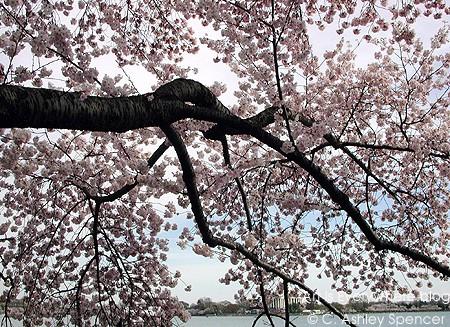 casart_Cherry-Blossoms_casartblog. Photo by C. Ashley Spencer