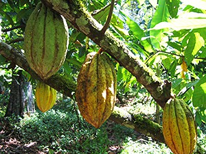 Panamanian cocoa pods, as seen on Slipcovers for your walls, casartblog