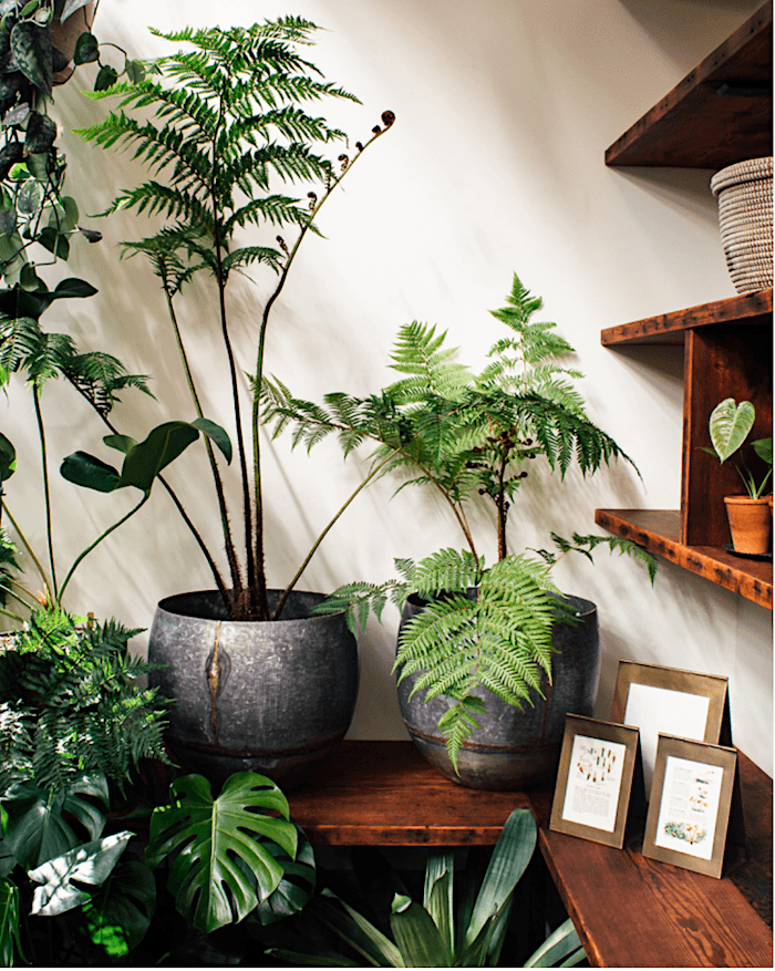 Tree Ferns via pistils nursery_casartblog
