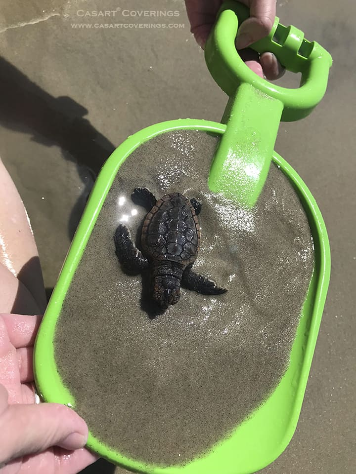 Saving Ocracoke beach baby turtle_casartblog