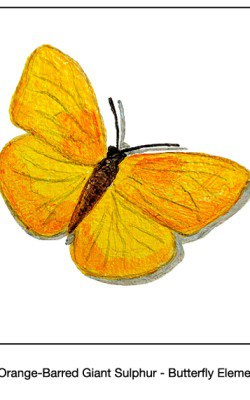 Casart_Orange-Barred Giant Sulpher Butterfly Detail_2x