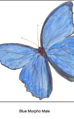 Casart_Blue Morpho Male Butterfly Detail 2x