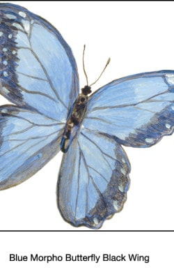 Casart_Blue Morpho Black Wing Butterfly Detail 3x