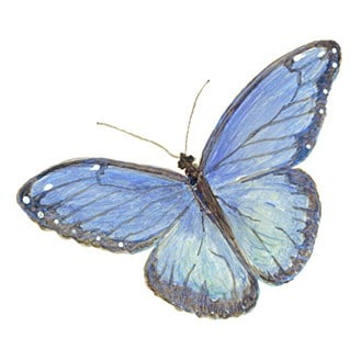 Casart_Blue Morpho Female Butterfly 1
