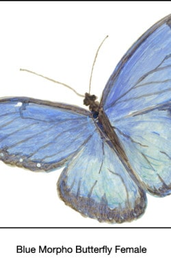 Casart_Blue Morpho Female Butterfly Detail 1x