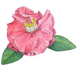 Casart Red Camellia 1