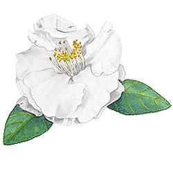 Casart White Camellia 2