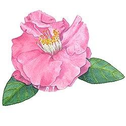 Casart Pink Camellia 3