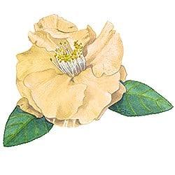 Casart Yellow Camellia 4