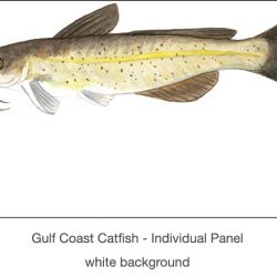 Casart_Gulf Coast Catfish white_1x