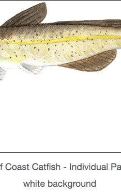 Casart_Gulf Coast Catfish white_1x