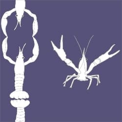 Casart_Crawfish-Cotillion White Purple 2_17