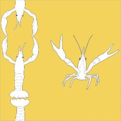 Casart_Crawfish-Cotillion White Yellow 2_23