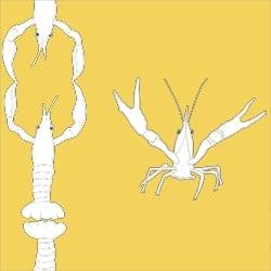 Casart_Crawfish-Cotillion White Yellow 2_23