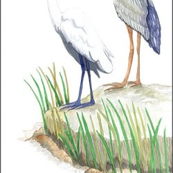 Casart_Gulf Coast Birds - white_1x