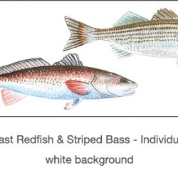 Casart_Gulf Coast Redfish_Bass white_1x