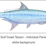 Casart Gulf Coast Tarpon white_1x