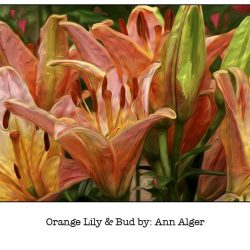 Casart Orange Lily & Bud Bloom Series - Ann Alger 2x