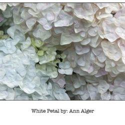 Casart WhitePetal_Bloom Series - Ann Alger 5x