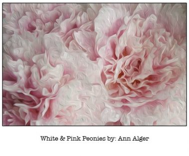 Casart White & Pink Peonies Bloom Series - Ann Alger 6x