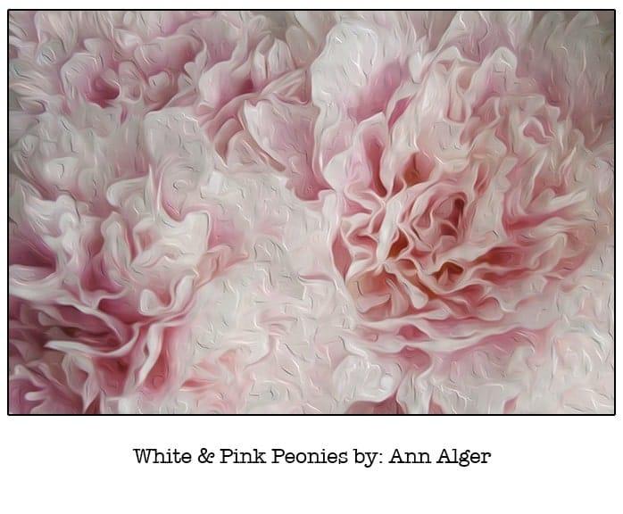 Casart White & Pink Peonies Bloom Series - Ann Alger 6x